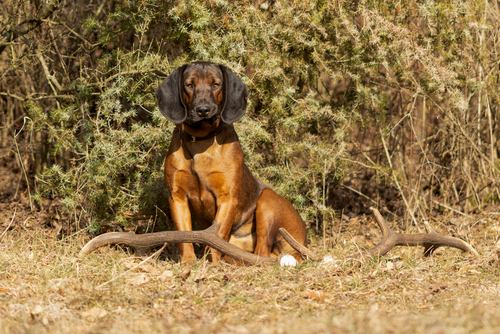 bavarian mountain dog im Wald