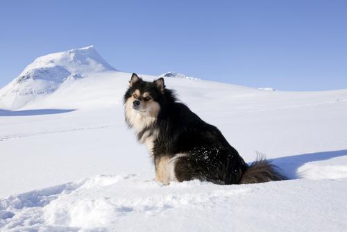 Finnish Lapphund im schnee