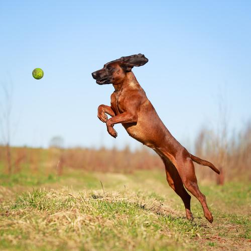 bavarian mountain dog Ball spielen