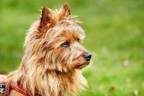 australian terrier close up