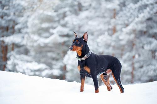 Deutscher Pinscher im Schnee