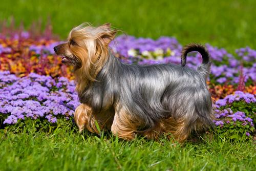 silky terrier Blume