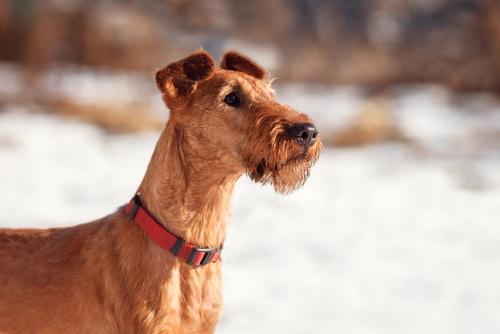 irish terrier close up