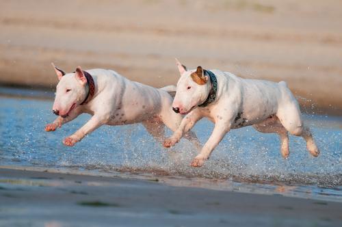 bullterrier am Strand