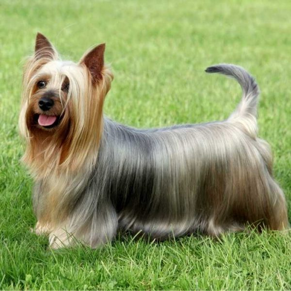 australian silky terrier im gras