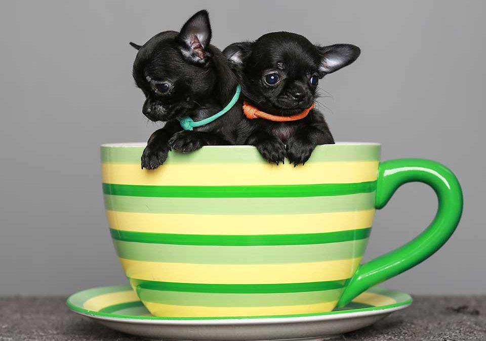 Teacup Hunde Chihuahuas