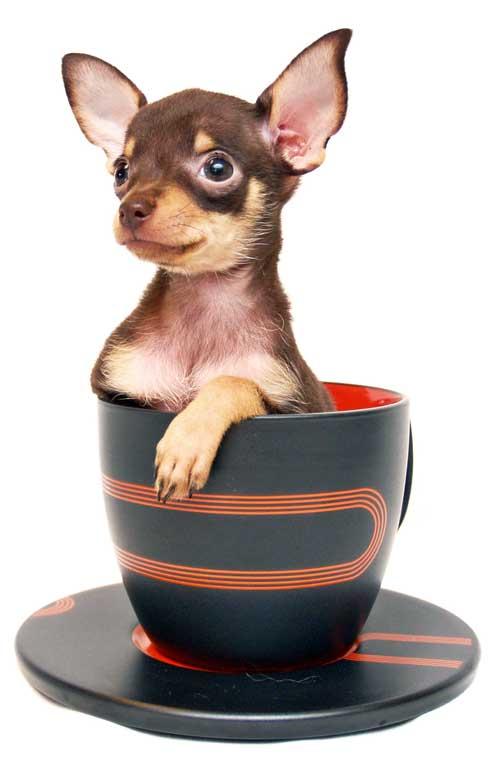 Teacup Hunde in einer Tasse
