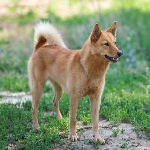 Karelischer Bärenhund