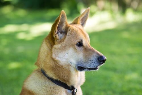 Kanaan Hund close up