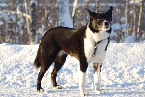 Karelischer Bärenhund im schnee