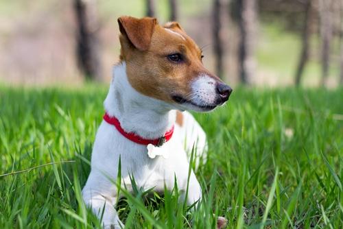 Jack Russell Terrier im gras