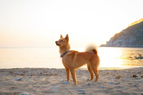 Karelischer Bärenhund am Strand