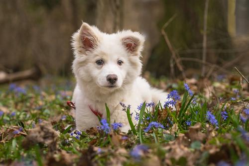 islandhund hundchen
