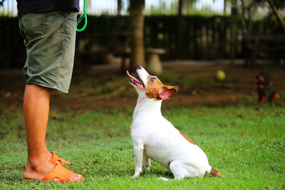 Jack Russell Terrier Ausbildung