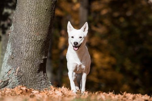 Kanaan Hund