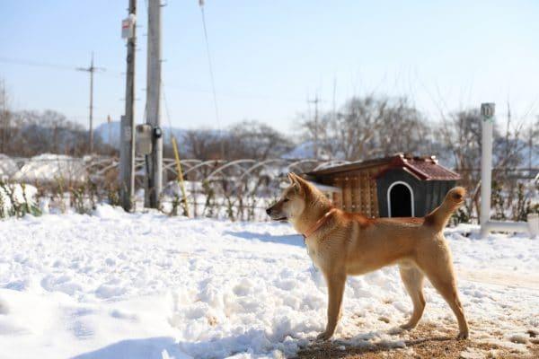 korean jindo dog im schnee