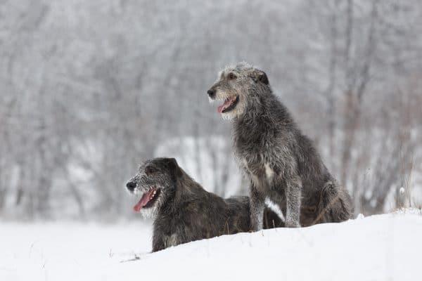 Irischer Wolfshund im schnee