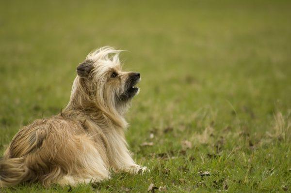 Langhaarige Pyrenäenschäferhund