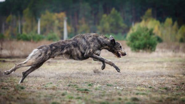 Irischer Wolfshund Laufen